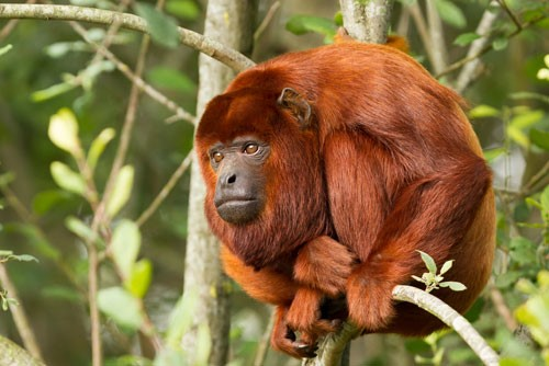 The Red Howler Monkey